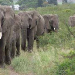 An Extraordinary Display of Love by Elephants in South Africa