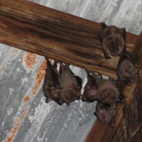 Bats roosting in an old sugar mill
