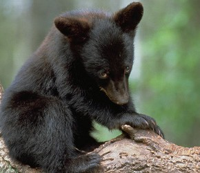 Black Bears Sighted in Central Texas