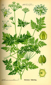illustration of Hemlock from an old book