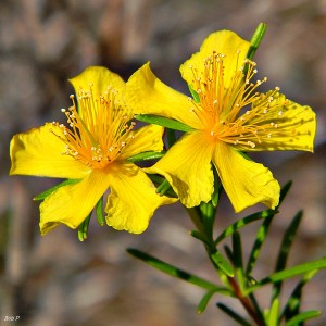 Here is Peelbark St. John's-wort, one of our local 5-petal Hypericum. The name refers to the peeling, cracked texture of the bark. It is a very common plant in moist pine flatwoods, pond margins and depression marshes. This one lives at Sweetbay Natural Area in Palm Beach County. (By Bob Peterson)