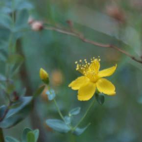 Herbal Remedies--St John's Wort